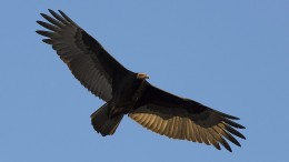 turkey-vulture-1107362_640